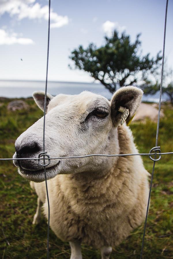 Reisefotografie-Schweden-Schaf